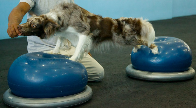 border_collie_hind_limb_stretch