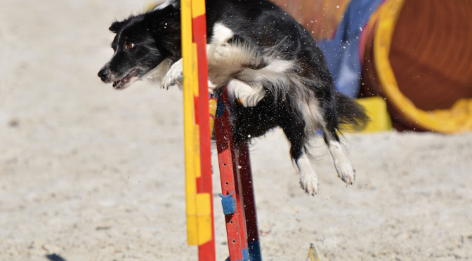 Functional Canine Conditioning  Part 2: Athleticism