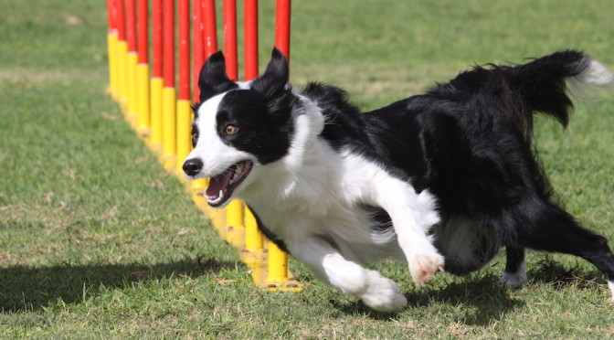 Functional Canine Conditioning Part 4: Endurance