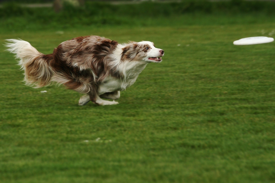 Frisbee_Chase_Fast