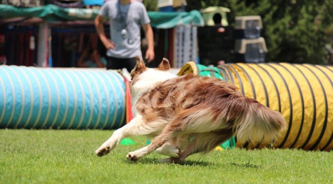 Conditioning Tighter Turns For Agility Dogs