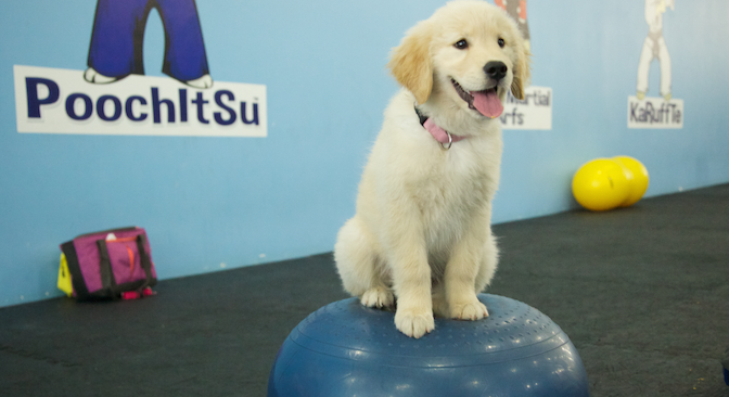 Sitting_Golden-Puppy