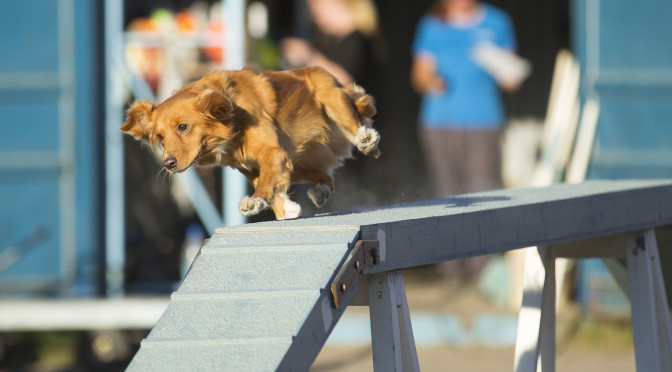 Injury Prevention For Dog Agility And Canine Athletes